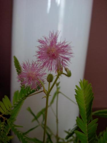Blüte Mimose-1b