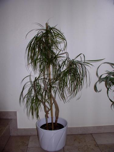 Drachenia-C-1