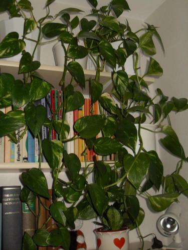 Efeutute, Epipremnum aureum  pinnatum-1