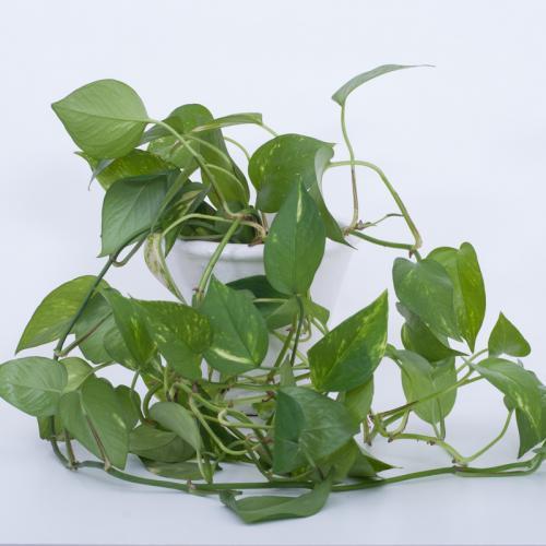 Efeutute, Epipremnum aureum  pinnatum-1d