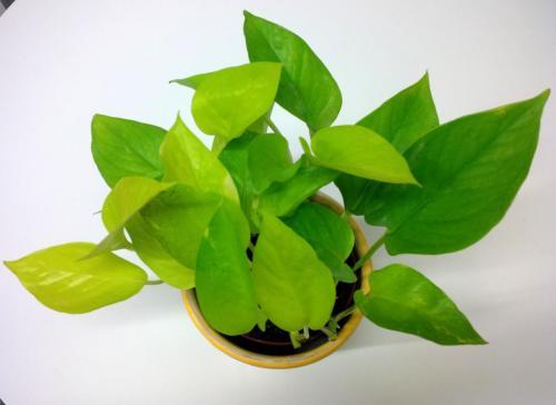 Efeutute, Epipremnum aureum  pinnatum NeonLime-1b