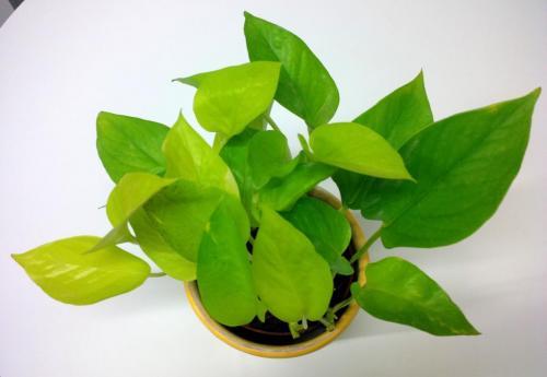 Efeutute, Epipremnum aureum  pinnatum NeonLime-1d