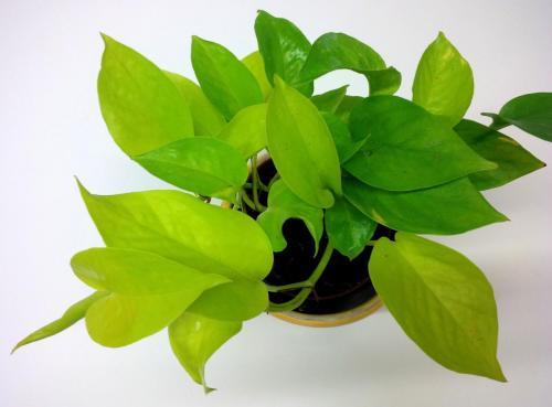 Efeutute, Epipremnum aureum  pinnatum NeonLime-1h