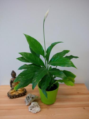 Einblatt, Friedenslilie, Spathiphyllum wallisii-1a