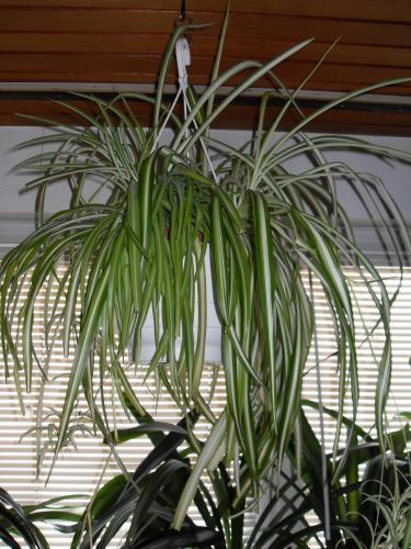 Grünlilie, Chlorophytum comosum variegatum-1h