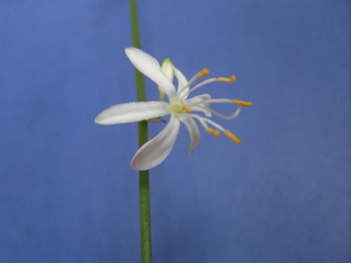Grünlilie Blüte-1b