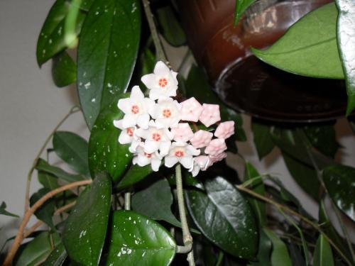 Hoya Blüte-1a