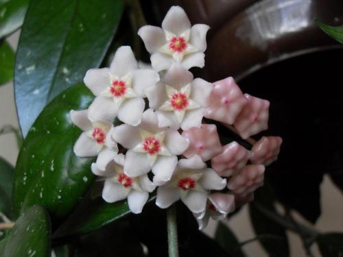 Hoya Blüte-1b