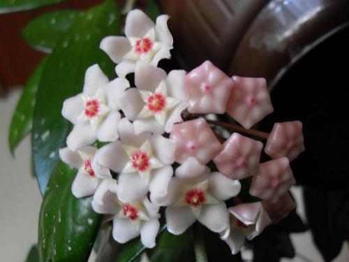 Hoya Blüte-1i