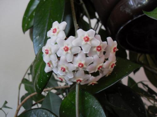 Hoya Blüte-1m