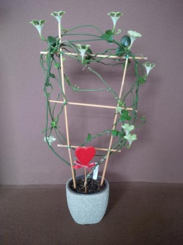 Kletternde Leuchterblume, Ceropegia-1