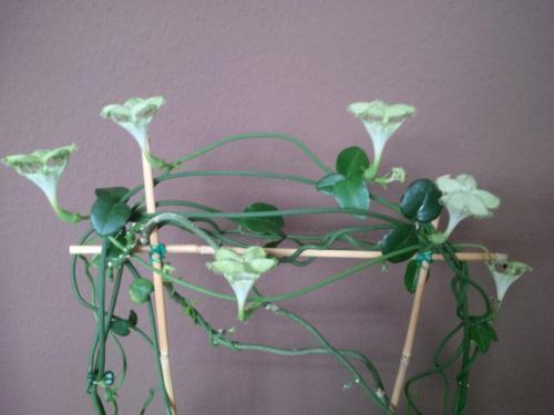 Kletternde Leuchterblume, Ceropegia-2