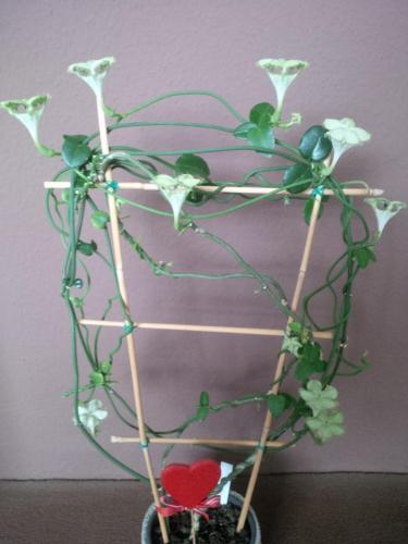 Kletternde Leuchterblume, Ceropegia-6