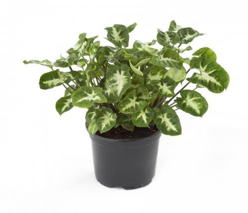 Purpurtute, Syngonium podophyllum Emerald Gem-1
