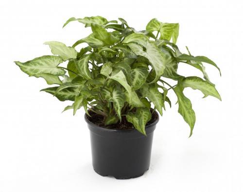 Purpurtute, Syngonium podophyllum Emerald Gem-2