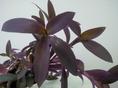 Rotblatt, Tradescantia pallida Purpurea-1c