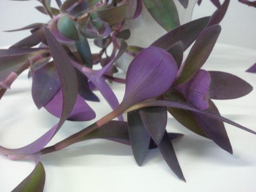 Rotblatt, Tradescantia pallida Purpurea-1d