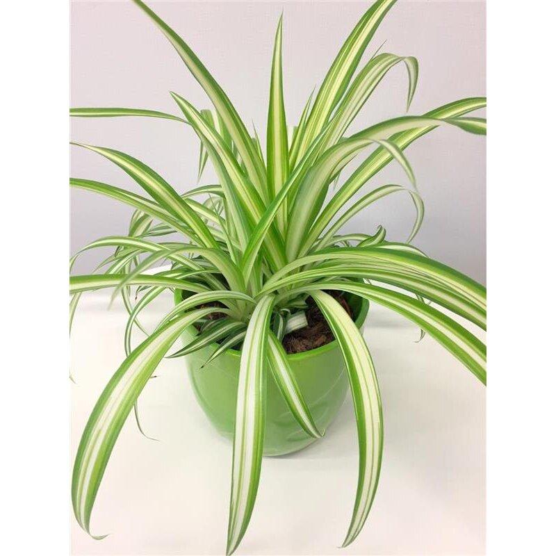 Grünlilie, Energiepflanze, besonders gut geeignet nach ...
