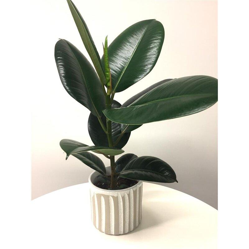 gummibaum ficus elastica feng shui energiepflanze 6 90. Black Bedroom Furniture Sets. Home Design Ideas
