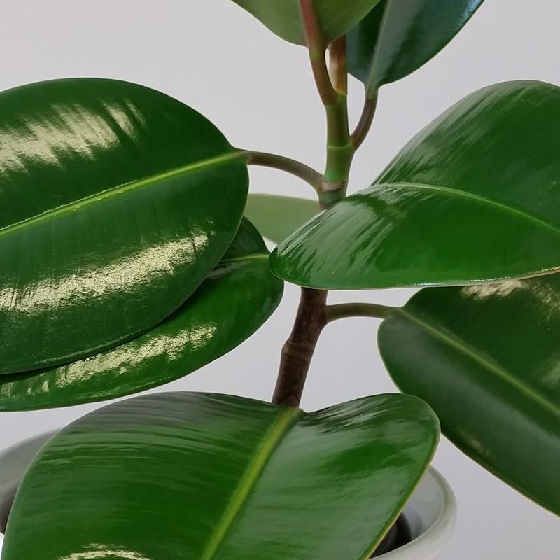 Gummibaum ficus elastica feng shui energiepflanze 6 90 for Zimmerpflanzen versand