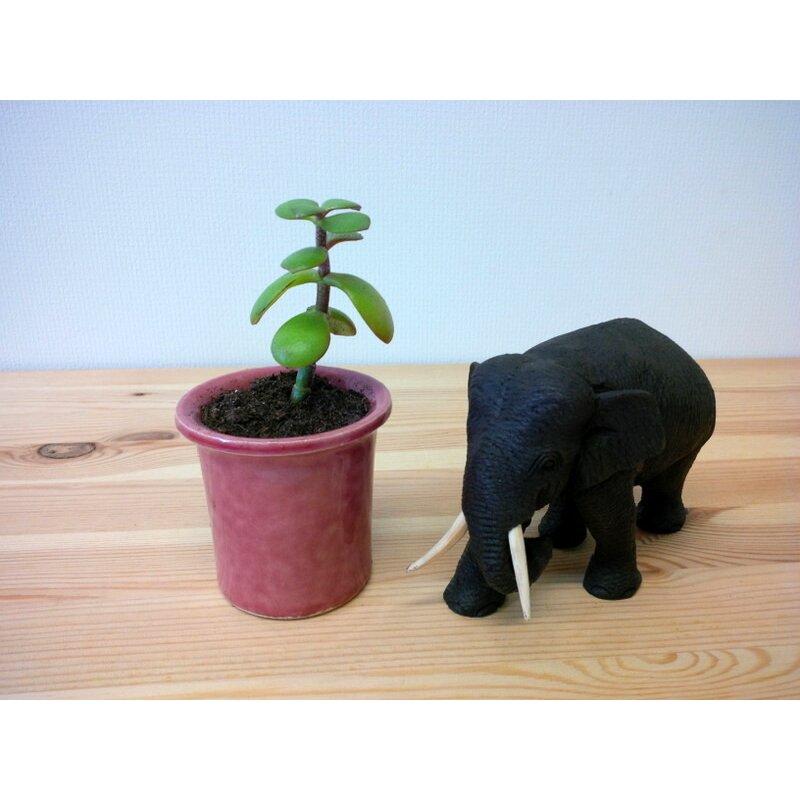 bonsai crassula ovata var minor 4 90 kan yu i. Black Bedroom Furniture Sets. Home Design Ideas