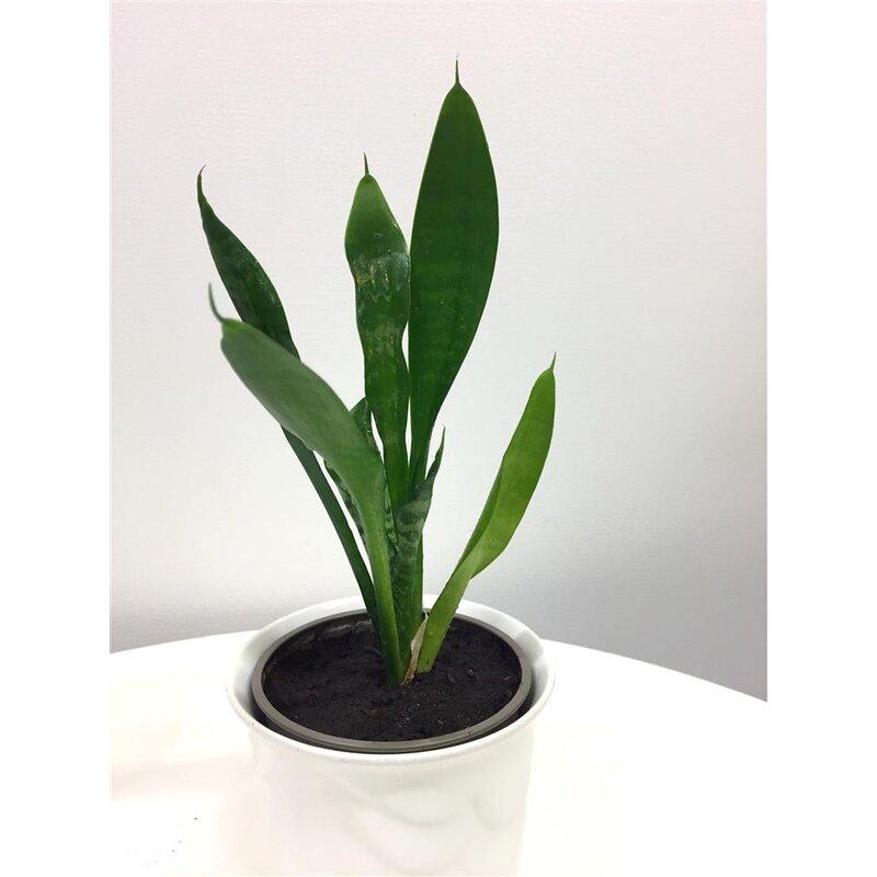 Sansevieria trifasciata fasciata bogenhanf zimmerpflanze - Zimmerpflanze sonnig ...
