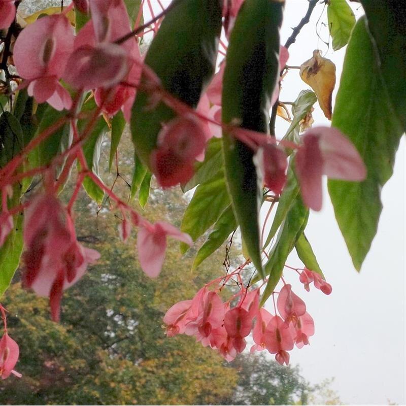 Begonie begonia albopicta schiefblatt kleines bl hwunder kan yu ihr feng shui shop das - Begonie zimmerpflanze ...