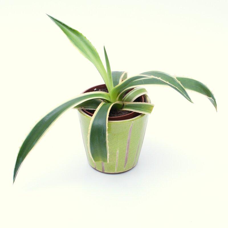 agave amerciana variegata agave amerciana marginata. Black Bedroom Furniture Sets. Home Design Ideas