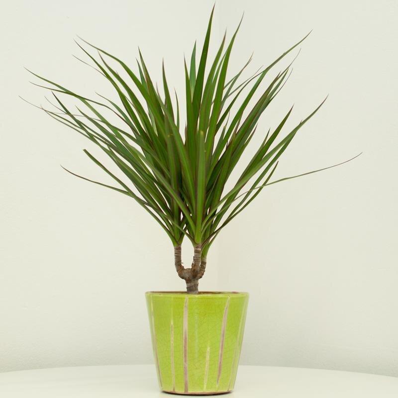 drachenbaum dracaena marginanta bicolor 6 90 kan yu. Black Bedroom Furniture Sets. Home Design Ideas