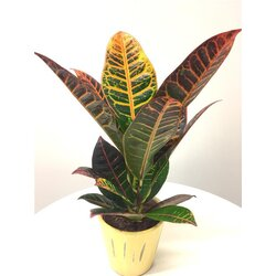 feng shui zimmerpflanzen energiepflanzen zierpflanzen und zubehoer s. Black Bedroom Furniture Sets. Home Design Ideas