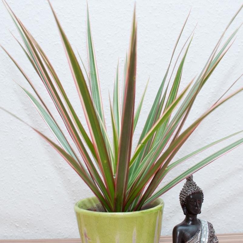 Feng shui pflanzen trendy potted stammwerk crassula mit for Dekor von zierpflanzen